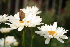 satyrid бабочки Стоковая Фотография RF