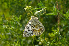 The Satyrid Butterfly Stock Image