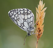 Satyrid butterfly Stock Photos