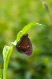 Satyrid butterfly Royalty Free Stock Photo