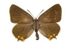 Satyrium acaciae (Sloe Hairstreak). Butterfly isolated on white background stock photo