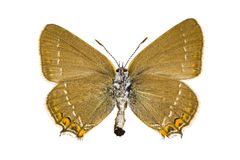 Satyrium acaciae (Sloe Hairstreak). Butterfly isolated on white background stock photography