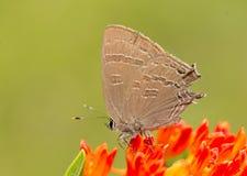 Satyrium caryaevorus, Hickory hairstreak butterfly Royalty Free Stock Photos