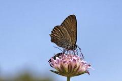 Satyrium esculi,从法国的错误冬青属翅上有细纹的蝶 免版税库存图片