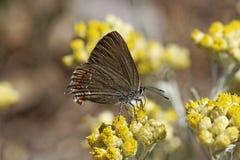 Satyrium esculi, False Ilex Hair-streak butterfly Stock Images