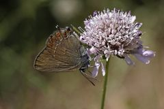 Satyrium esculi, False Ilex Hairstreak butterfly Royalty Free Stock Photo