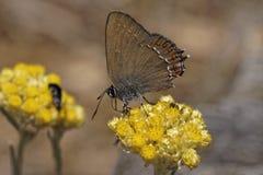 Satyrium ilicis,在蜡菊属植物italicum绽放的冬青属翅上有细纹的蝶 库存图片