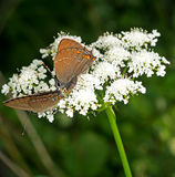 Satyrium ilicis aka Ilex Hairstreak butterflies mating Stock Photo