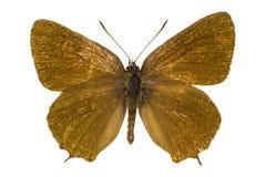 Satyrium ilicis (Ilex Hairstreak). Dorsal view of Satyrium ilicis (Ilex Hairstreak) butterfly isolated on white background stock photography