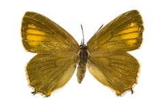 Satyrium ilicis (Ilex Hairstreak). Dorsal view of Satyrium ilicis (Ilex Hairstreak) butterfly isolated on white background royalty free stock image