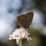 Satyrium ilicis, Ilex Hairstreak butterfly Royalty Free Stock Images
