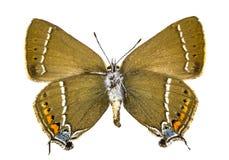 Satyrium spini (Blue-spot Hairstreak). Ventral view of Satyrium spini (Blue-spot Hairstreak) butterfly isolated on white background stock photos