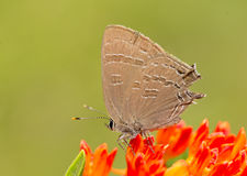 Satyriumcaryaevorus, Hickory hairstreak vlinder royalty-vrije stock foto's
