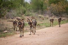 Satz afrikanische wilde Hunde, die in Richtung zur Kamera gehen Stockfotografie