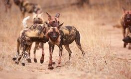 Satz afrikanische wilde Hunde (Lycaon pictus) stockbilder