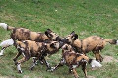 Satz afrikanische Wildhundwelpen Stockfotos