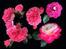 Satz blühende Rosen lokalisiert auf schwarzem Hintergrund Stockbilder