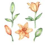 Satz Blumen - Lilien Lizenzfreie Stockfotografie