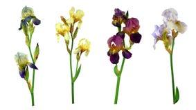 Satz bunte Farbirisblumen lokalisiert auf weißem Hintergrund ohne Schatten Nahaufnahme Stockbild