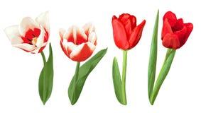 Satz dekorative rote und weiße Tulpen Schöne realistische Blumen, Knospen und Blätter Stockfoto