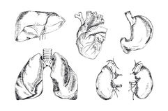 Satz der menschlichen Organe, Vektorillustration Lizenzfreies Stockfoto