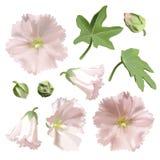 Satz der rosa Malve blüht auf weißem Hintergrund. Lizenzfreies Stockbild