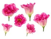 Satz der Rosarose blüht in den verschiedenen Kamerawinkeln lokalisiert auf weißem Hintergrund Stockbild