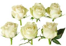 Satz der schönen Weißrose mit Regentropfen lokalisiert auf Weiß Stockfotografie
