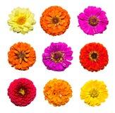 Satz der Zinniablume lokalisiert auf weißem Hintergrund Rote, rosa, purpurrote, gelbe Blumen Lizenzfreies Stockfoto
