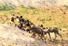 Satz des Afrikaners malte Hunde Lycaon Pictus, das in Süd-luangwa Nationalpark spielt und kämpft Stockfotografie
