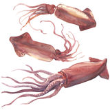 Satz des frischen Kalmars oder des rohen Calamari lokalisiert, Aquarellillustration lizenzfreie abbildung