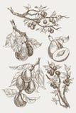 Satz des Gartens trägt Stichart Früchte Lokalisiert auf Hintergrund Gezeichnete Illustration des Retrostils Hand Weinlesepflaumen Lizenzfreies Stockbild