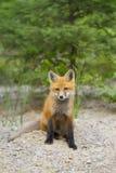Satz des roten Fuchses lizenzfreie stockbilder
