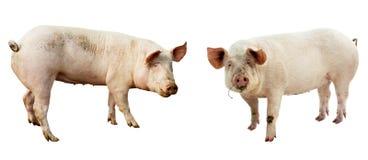 Satz des Schweins Vieh lokalisiert stockfotografie