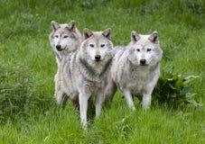 Satz drei des Europäers Grey Wolves Stockbild