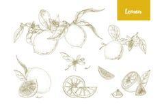 Satz elegante botanische Zeichnungen von ganzen und geschnittenen Zitronen, von Niederlassungen, von Blumen und von Blättern Neue Stockfotos