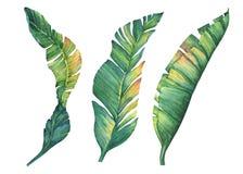 Satz exotische tropische Bananenblätter Lizenzfreies Stockfoto