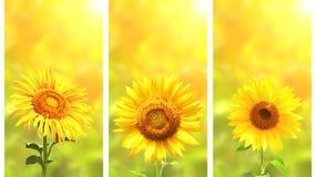 Satz Fahnen mit Sonnenblume auf grünem sonnigem Hintergrund Stockfotografie