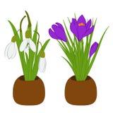 Satz Frühlingsschneeglöckchen- und -krokusblumensträuße in den Blumentöpfen lokalisiert auf Weiß Auch im corel abgehobenen Betrag Stockfotografie