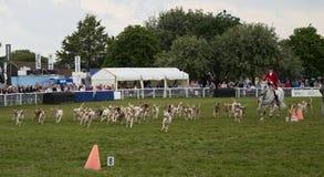 Satz Fuchsjagdhunde Stockbilder