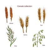 Satz Getreide Gerste, Roggen, Hafer, Reis und Weizen lizenzfreie abbildung