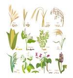 Satz Getreide und Hülsenfruchtanlagen mit Blättern und Blumen stock abbildung