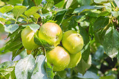 Satz grüne Äpfel auf Baum stockbilder
