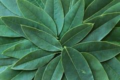 Satz grüne Akazienblätter Stockfotografie