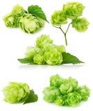 Satz grüne Hopfen lokalisiert auf dem weißen Hintergrund Lizenzfreies Stockfoto