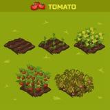 Satz 1 Isometrisches Stadium von Wachstum Tomate Lizenzfreies Stockfoto
