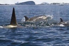 Satz Killerwale, die entlang der antarktischen Küste sonniges s schwimmen Lizenzfreies Stockfoto