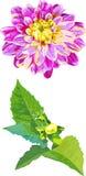 Satz 2 lokalisierte Gegenstände der Dahlienblume und Stockfotografie