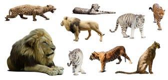 Satz männlicher Löwe und andere große Wildkatzen Stockbild