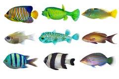 Satz Meer-nr 3- Rifffische auf weißem Hintergrund Lizenzfreies Stockfoto